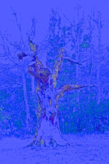 D4305088-La Ste Baume : le chêne personnifié