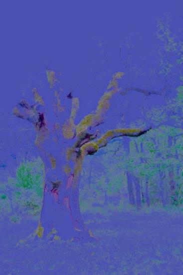 D4305192-La Ste Baume : le chêne personnifié