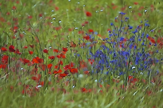 F5229913-Gentils coquelicots