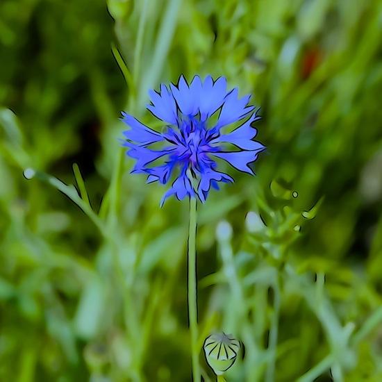 F6061778-Bleuet de France