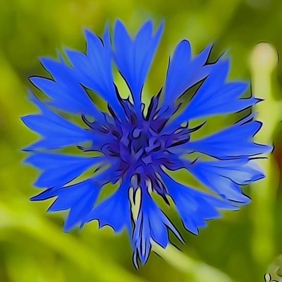 F6061784-Bleuet de France