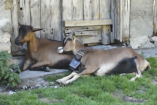 F8269117-Chèvres câlines