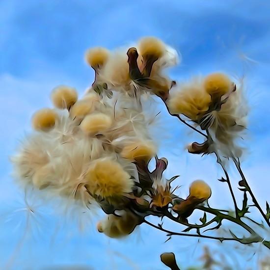 H8096141-Fleurs de coton
