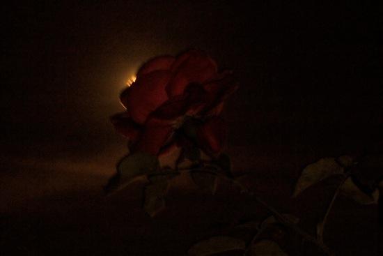 76161801-La rose amoureuse de la lune